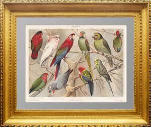 1896 Попугаи