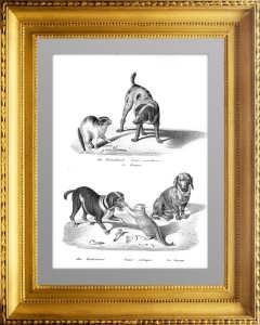 Породы собак 2. Сеттер и такса. 1827г. Бродтманн. Старинная литография
