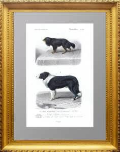 Кавалер кинг чарльз спаниель и ньюфаундленд? 1850г. Травье. Старинная гравюра 19 века