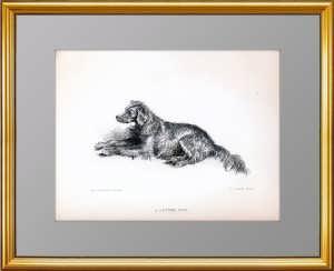 Сеттер. Антикварная гравюра. 1878г. Подарок охотнику, любителю собак. Музейный экземпляр
