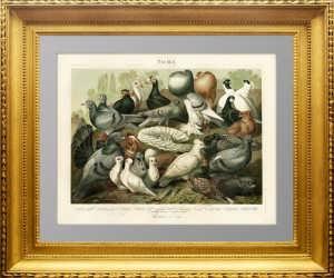 Породы голубей. 1886 г. Антикварная литография.