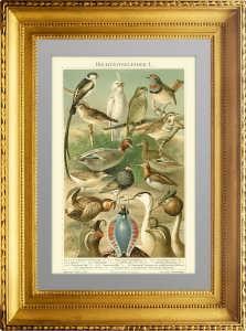 Брачный наряд птиц. 1896г. Мангельсдорфф. Старинная литография. Подарок охотнику