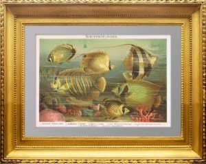 Рыбы южных морей - чешуеперые. 1886г. Антикварная литография