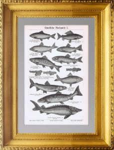 Искусственное рыбоводство. 1896г. Антикварная гравюра.