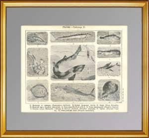 1896г. Рыбы 2. Старинная гравюра.