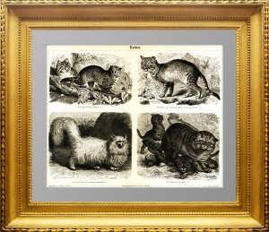 Породы кошек. 1886г. Гравюра 19 века.