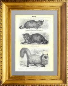 Породы кошек. 1896г. Старинная гравюра 19 века.