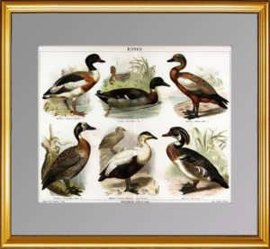 Дикие утки. Водоплавающая дичь. 1886г.  Антикварный подарок охотнику