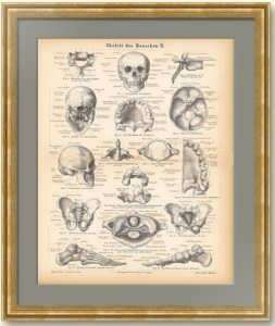 Скелет человека II. Антикварная гравюра. 1876г.